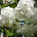 家裡後院的櫻花 10