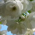 家裡後院的櫻花 11