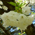 家裡後院的櫻花 12