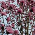 西雅圖華盛頓大學植物園木蘭花 2004 02