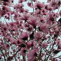 西雅圖華盛頓大學植物園木蘭花 2004 03