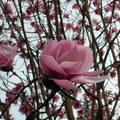 西雅圖華盛頓大學植物園木蘭花 2004 04