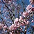 西雅圖華盛頓大學植物園木蘭花 01
