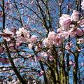 西雅圖華盛頓大學植物園木蘭花 02