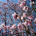 西雅圖華盛頓大學植物園木蘭花 03