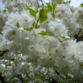 家裡後院的櫻花 14