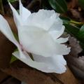 家裡後院的櫻花 16
