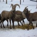 2016 年初,華盛頓州東邊 Yakima 城附近 Naches 看大角羊。