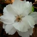 家裡後院的櫻花 15