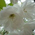 家裡後院的櫻花 13