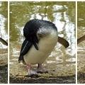 動物園裡的小企鵝 Little Penguins 連續動作