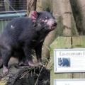 動物園裡的袋獾 塔斯馬尼亞惡魔 tasmanian devil