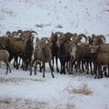 2016 Bighorn sheep 01
