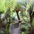 樹蕨 tree ferns