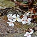 砂卡礑步道桐花