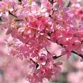 反正就是狂拍櫻花。。