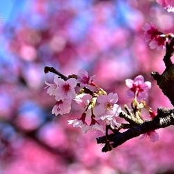 東湖樂活公園櫻花