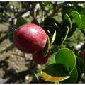 卡利撒又名美國櫻桃,紅色果實外形像似櫻桃或蔓越莓,大又圓的紅果滿討喜。