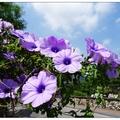 台灣~各地の花兒