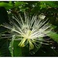 馬拉巴栗又名發財樹、招財樹、美國花生、瓜栗,屬木棉科馬拉巴栗屬的植物。