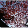 一波波寒流將「大葉欖仁」的葉子催紅了,於冬日陽光下更顯紅豔美麗。