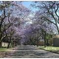 台灣秋末的差旅須遠赴南半球的南非,當地時令正處於春天,也是藍花楹盛放的季節。