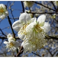 「烏松崙」是處南投信義鄉賞梅景點,於歲末年初梅花綻放時,吸引滿多遊客前來賞花。