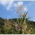 大竹湖步道是日月潭潭邊最短的步道,大竹湖每當深秋過後潭面的蘆花搖曳。