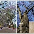 南非~藍花楹の花開