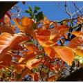 台中豐原區公老坪有三十公頃的四周柿種植,冬至之前柿葉漸轉為橙黃。