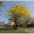 三月是黃花風鈴木綻放的季節,位於中市「廍子公園」裡風鈴木開得最豔麗。