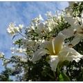 更特別是,台中健康公園裡有株「白花美人樹」,十月節慶前後開花,滿樹綻放的白花非常豔麗。