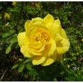 「玫瑰森林」為苗栗頭屋鄉一座新的觀光景點,座落於明德水庫風景區旁。