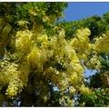 炎夏是嘉義世賢路阿勃勒綻放的季節,黃橙橙的花串像似簾幕輕掛於樹梢