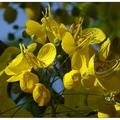 六月是亞洲大學花開最美的月份,往年賞完荷花,接續是黃橙的阿勃勒盛開。