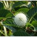 多數小花聚成圓球狀花序,巧似現今冠狀病毒株。  風箱花形似如繡球花也似珠花便有「珠仔花」的美稱。