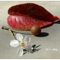 興大~台灣野梨の花