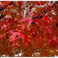 京都~嵐山秋楓の旅