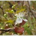扁櫻桃不僅花形美麗,果型也小巧可愛。一年有三次花開,除了冬日不見花開。