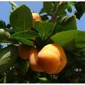 台中市豐原區公老坪種植三十公頃的四周柿,中秋過後正是採收的季節。