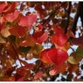 「烏桕」葉子於寒冷的冬日漸漸轉紅,在冬陽下享受這季紅豔非它莫屬