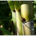 白甘蔗所榨取的甘蔗汁,是冷熱皆宜的美味飲品,具有滋補清熱之效。