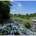 竹子湖の繡球花開