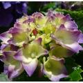 竹子湖地區種植的繡球花,品種色系多樣,吸引眾多遊客前來賞花拍照。