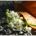 紅葉步道處於茶葉改良場上方,行道樹是排錫蘭橄欖,當葉片在飄落前會轉紅。