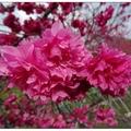 櫻花林位於紫雲寺山路旁私人花圃,年節免費供香客賞花,紅通通花海迷漫於山谷之中。