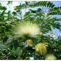 炎日樹梢佈滿綠色的花朵,像似支支小扇子,微風中帶點青澀的香氣。