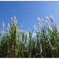 深冬是甘蔗花開的季節,一望無際的蔗花田,於冬陽下隨風搖曳。