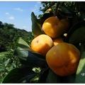 秋涼的季節,柿子已黃了,最先吃到應是「紅柿」,軟軟綿密Q甜好吃。