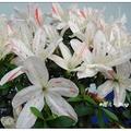 日本~皋月の杜鵑花